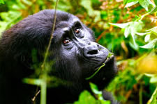 Tour Gorillas in Uganda